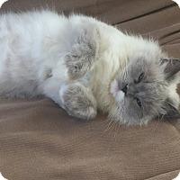 Adopt A Pet :: Elvira - St. Louis, MO