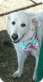 Great Pyrenees Mix Dog for adoption in Pilot Point, Texas - SUGAR