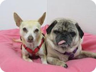 Chihuahua/Pug Mix Dog for adoption in Quilcene, Washington - Min/Baxter