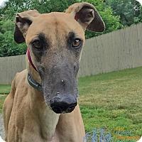 Adopt A Pet :: Ryker - Swanzey, NH