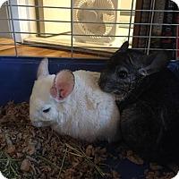 Adopt A Pet :: Caravaggio - Patchogue, NY