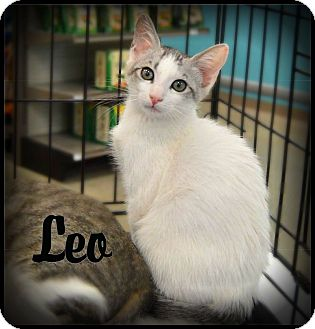 Domestic Shorthair Cat for adoption in Sherman Oaks, California - Leo