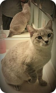 Burmese Cat for adoption in Corona, California - EMMA