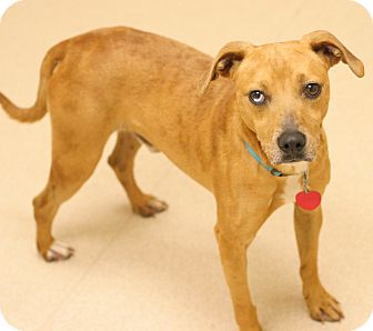 Terrier (Unknown Type, Small) Mix Dog for adoption in Staunton, Virginia - Rusty