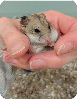 Hamster for adoption in Bensalem, Pennsylvania - Lasagna