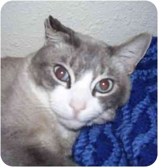 Siamese Cat for adoption in El Segundo, California - Casper