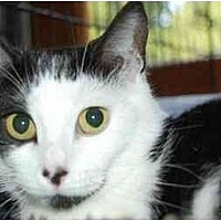 Adopt A Pet :: Button Nose - Alpharetta, GA