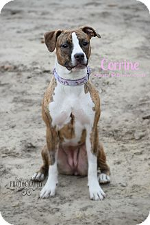 American Staffordshire Terrier Mix Puppy for adoption in Cherry Hill, New Jersey - Corinne