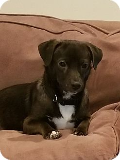 Dachshund/Chihuahua Mix Dog for adoption in New Port Richey, Florida - Henry