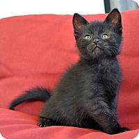 Adopt A Pet :: Henri - Mississauga, Ontario, ON