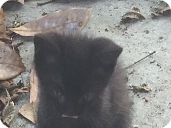 Domestic Shorthair Kitten for adoption in Parkton, North Carolina - Gracie