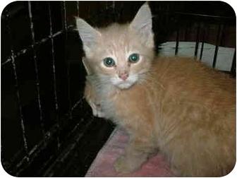 Domestic Shorthair Kitten for adoption in Warren, Ohio - Dagwood
