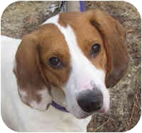 Foxhound Mix Dog for adoption in Eatontown, New Jersey - Conger