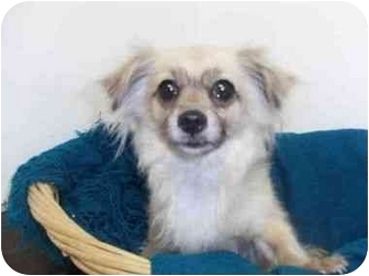 Chihuahua Mix Dog for adoption in Studio City, California - Belle