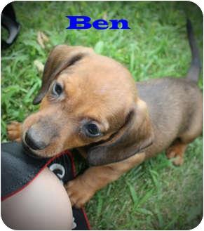 Dachshund Mix Puppy for adoption in Kokomo, Indiana - Ben