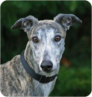 Greyhound Dog for adoption in Portland, Oregon - Drifter