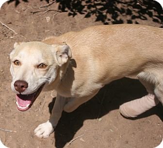 Shepherd (Unknown Type) Mix Dog for adoption in Santa Fe, New Mexico - Fawn