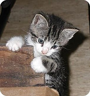 Domestic Shorthair Cat for adoption in Greenville, Alabama - Cats & Kittens
