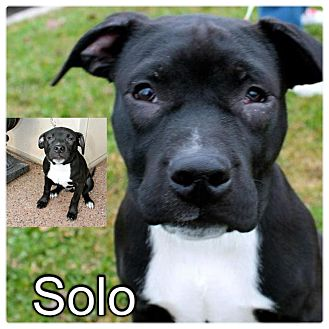 American Bulldog/American Pit Bull Terrier Mix Puppy for adoption in Garden City, Michigan - Solo