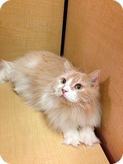 Domestic Longhair Cat for adoption in Modesto, California - Calvin