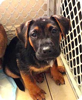 German Shepherd Dog/Boxer Mix Puppy for adoption in Miami, Florida - Felicia