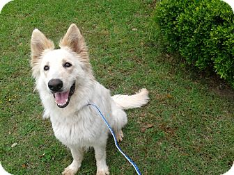 German Shepherd Dog/Great Pyrenees Mix Dog for adoption in Dripping Springs, Texas - Lacey