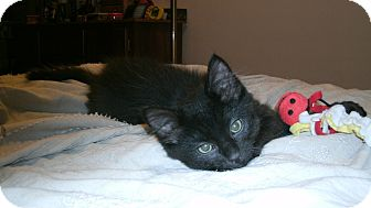 Domestic Shorthair Kitten for adoption in St. Louis, Missouri - Morgan