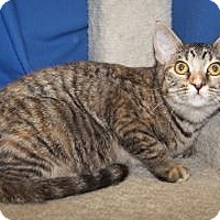 Adopt A Pet :: K-Nikki1-Allspice - Colorado Springs, CO