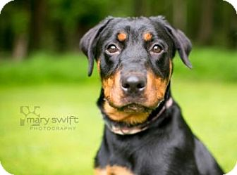 Rottweiler Dog for adoption in Reisterstown, Maryland - Pepsi