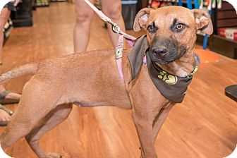 Black Mouth Cur/Shepherd (Unknown Type) Mix Puppy for adoption in Pitt Meadows, British Columbia - Madison