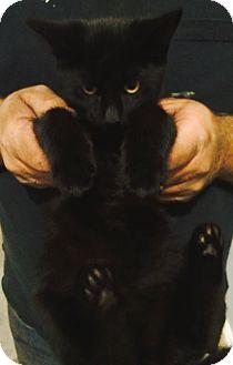 Domestic Mediumhair Cat for adoption in Loogootee, Indiana - Eddy