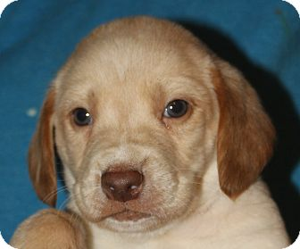Labrador Retriever/Beagle Mix Puppy for adoption in Colonial Heights, Virginia - Wafer
