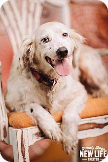 English Setter Dog for adoption in Portland, Oregon - Bella