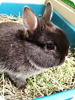 Netherland Dwarf Mix for adoption in Edinburg, Pennsylvania - Poppy