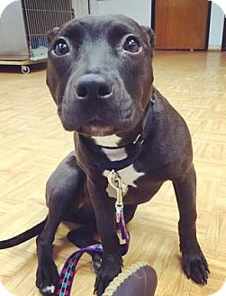 Labrador Retriever/Pit Bull Terrier Mix Puppy for adoption in Oak Park, Illinois - Susie