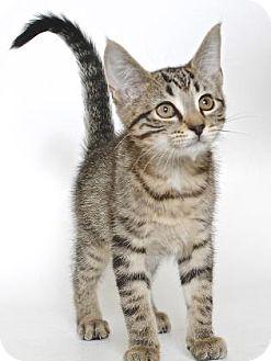 Domestic Shorthair Kitten for adoption in Gloucester, Virginia - MIKO