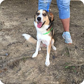 Australian Shepherd Mix Dog for adoption in Minneapolis, Minnesota - Leroy