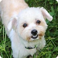 Adopt A Pet :: Simone - Norwalk, CT