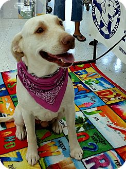Labrador Retriever Mix Dog for adoption in Coppell, Texas - Kelsey