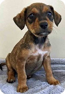 Labrador Retriever Mix Puppy for adoption in Gahanna, Ohio - ADOPTED!!!   Fern