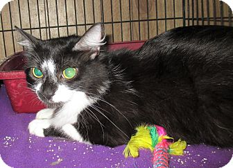 Domestic Shorthair Cat for adoption in Reeds Spring, Missouri - Puma