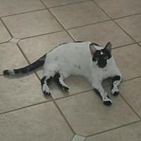 Adopt A Pet :: Freckles (DH) 12.6.15 - Orlando, FL