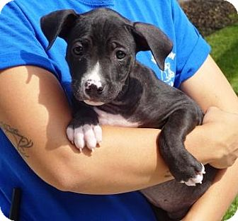 Shepherd (Unknown Type)/Pit Bull Terrier Mix Puppy for adoption in Lathrop, California - Jacqueline