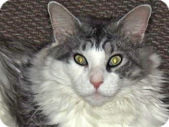 Maine Coon Cat for adoption in Davis, California - Raycoon