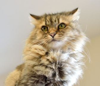 Domestic Longhair/Domestic Shorthair Mix Cat for adoption in Redmond, Oregon - Makoha