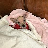 Adopt A Pet :: Sampson - Ardmore, OK
