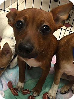 Chihuahua Mix Puppy for adoption in Boca Raton, Florida - Ally