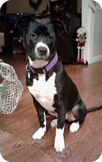 Pit Bull Terrier Mix Dog for adoption in Mission, Kansas - Adventure Time