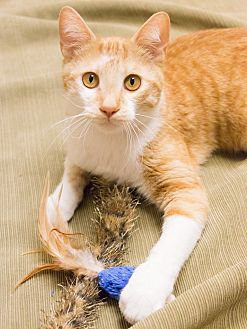 Domestic Shorthair Cat for adoption in Chicago, Illinois - Moe