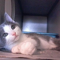Adopt A Pet :: Sage - NEW - Arlington, VA